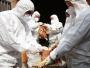 U Mađarskoj eutanazirano 115.000 pataka