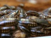 Kinezi uzgajaju žohare kako bi se riješili smeća