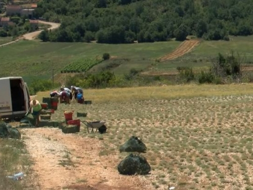 Šest milijuna KM poticaja za uzgajivače smilja