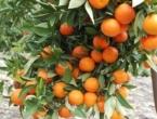 7 razloga zašto trebate jesti mandarine svaki dan