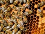 Pomor pčela u Francuskoj, ugrožena proizvodnja meda