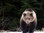 Mrki medvjed nestaje iz šuma u BiH