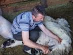Kod Križe živo: Kad Šaban ovce šiša…