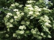 Znate li koliko je Zova zdrava biljka i kako sve može pomoći?