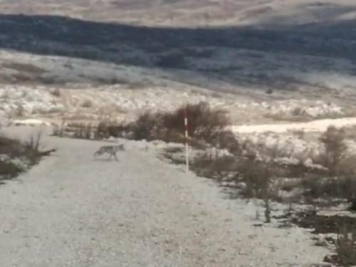 Vukovi rastrgali psa kod Tomislavgrada