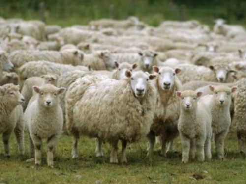 Tomislavgrad: Autom udario u stado i ubio četiri ovce