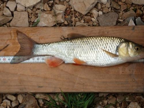 Nestaju li endemske vrste riba na području Livanjskog polja?