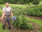 U općini Bugojno dnevno uberu 70 tona malina