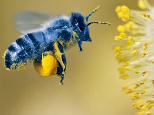 Plava pčela nije izumrla, znanstvenici je pronašli nakon četiri godine