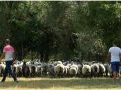 Vratili se iz Zagreba i pokrenuli vlastiti posao s ruskim ovcama