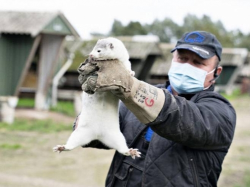 Zbog mutiranog virusa pobili 17 milijuna životinjica, ali sad se pojavio novi problem