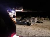 Pakline: Automobilima naletjeli na kravu
