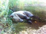 Na Vranu iz lovačkog oružja ubijen mladi medvjed