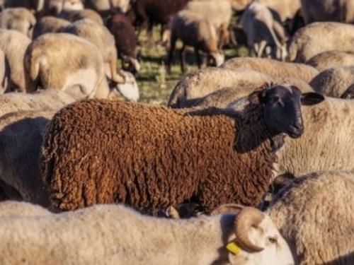 Lažni mesar na prevaru odvozio ovce
