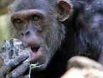 Čimpanze pametnije od studenata!