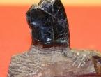 Japan: Pronađeni zubi dinosaura stari 81 milijun godina