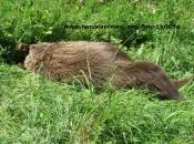 Na prometnici Rama - Tomislavgrad stradao medvjed