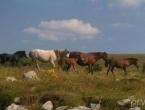 Divlji konji stvaraju probleme vozačima na Borovoj glavi