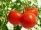 Slatka i sočna rajčica regulira krvni šećer te jača kosti i kosu, a kožu čini zdravom