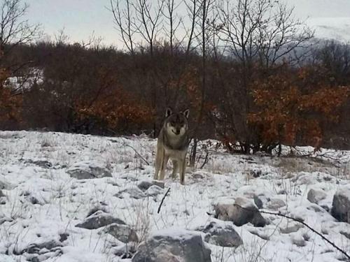 Krenula na posao pa naišla na vuka