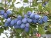 Raste izvoz šljiva, grožđa i višanja