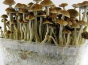 Znanstvenici: Gljiva najsigurnija droga