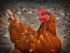 Upozorenje: Slučajevi ptičje ili kokošje gripe mogući i u BiH