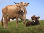 Znanstvenici odlučili krave dovesti u red!