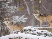 Čopori vukova nadomak sanskih sela, rastrgli lovačkog psa, seljaci se boje za stoku