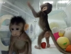 U Kini klonirani prvi majmuni