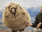 Ovca se sakrivala u pećini šest godina kako bi izbjegla šišanj