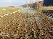 Dugotrajna kiša već šteti povrću u Hercegovini