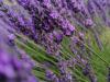 Hercegovačka ruta aromatskog i ljekovitog bilja