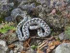 Što trebate, a što nikako ne smijete učiniti ako vas ugrize zmija?