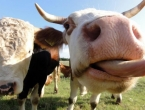 Počela istraga o mesu zaraženih krava