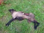 Vukovi u Jurićima zaklali tri ovce i dvoje janjadi