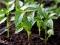 Oprezno sa sadnjom rajčice, paprike i patlidžana