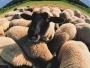 Luci se izgubile ovce!