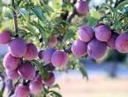 Krastavci, šljive, maline i jabuke najveći su izvozni potencijal BiH