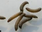 Gusjenica će predvoditi novu ekološku revoluciju - larve razrađuju plastiku