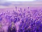 Savjeti za sadnju, uzgoj i razmnožavanje lavande