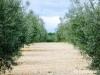 Hercegovci sade trešnje, smokve i masline