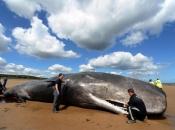 Zašto se kitovi nasukavaju