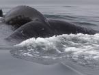 Otkriven razlog masovnog nasukavanja kljunastih kitova