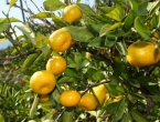 Pročitajte zašto je važno jesti mandarine