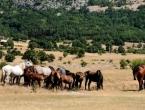 Nedaleko od Livna obitava više od 600 divljih konja