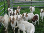 Čapljina: Ukrali joj koze i kozliće