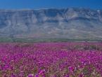 Dijelovi najsuše pustinje postali ružičasti raj na zemlji