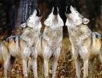Vukovi siju strah u duvanjskom kraju