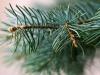 Sirup od borovih iglica lako je pripremiti i dobro je imati zalihe kroz cijelu godinu
